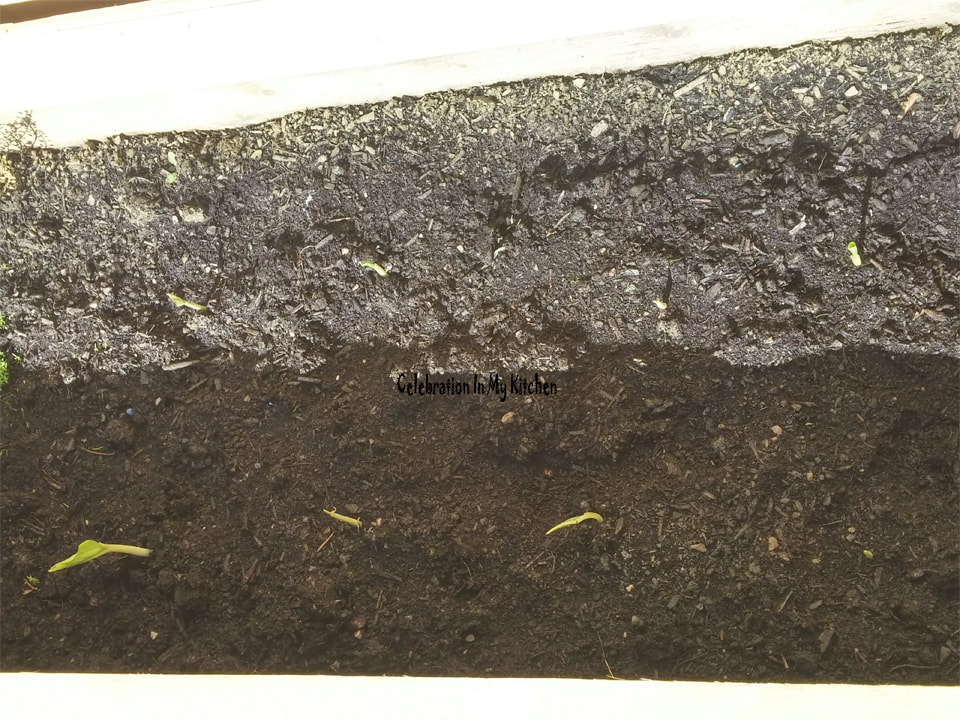 Germinating Turmeric Rhizomes In Moist Paper Towels